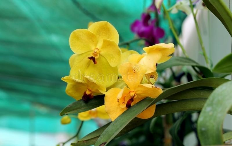 Vibrant yellow orchid flowers blooming in the garden royalty free stock photo