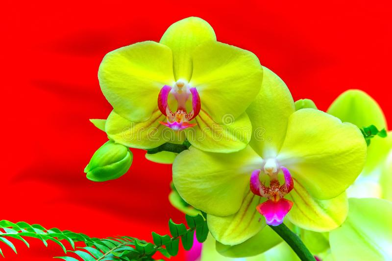 Vibrant yellow phalaenopsis blume pink orchids with red background. Beautiful and vibrant yellow phalaenopsis blume orchid blossoms in full bloom against bright royalty free stock images