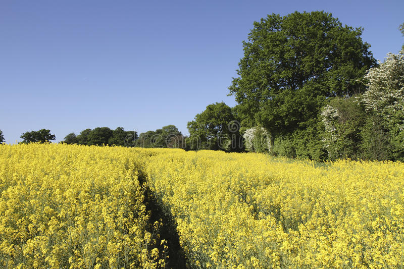 Download Vibrant Yellow Rapeseed Field Surrounded By Trees Stock Image - Image: 14456727