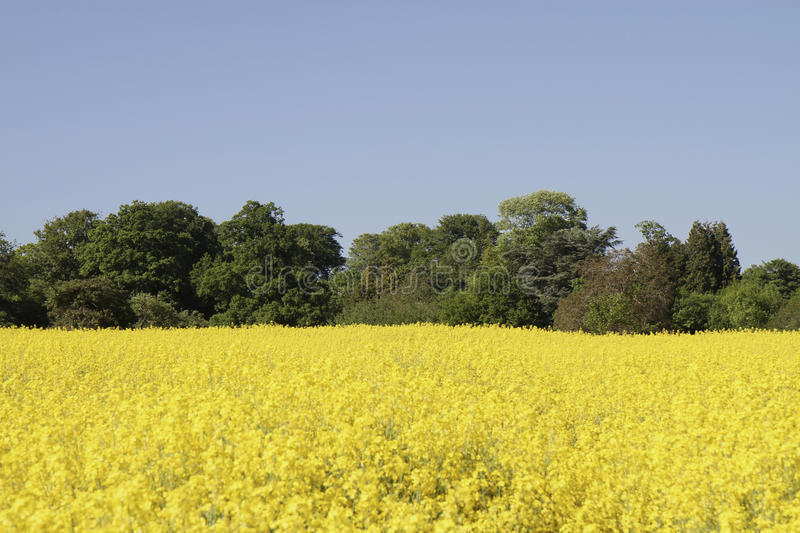 Download Vibrant Yellow Rapeseed Field Surrounded By Trees Royalty Free Stock Photo - Image: 15933495