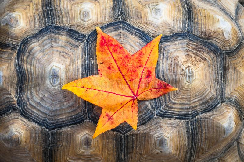 Vibrant yellow and red autumn colored leaf on a turtle shell. Background royalty free stock images