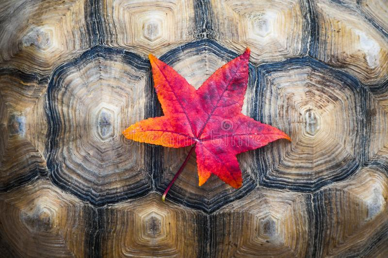 Vibrant yellow and red autumn colored leaf on a turtle shell. Background stock image