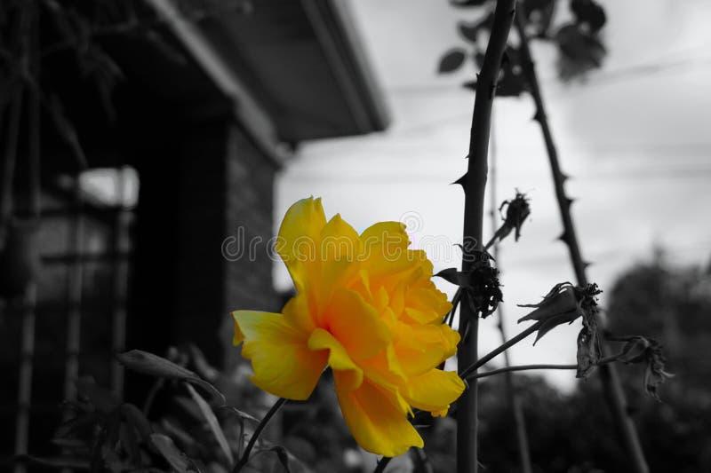 Vibrant yellow rose stock image