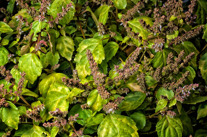 Vibrante patchouly na flor imagem de stock royalty free