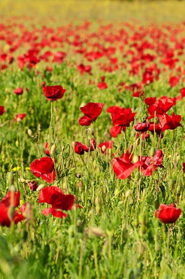 Vibrantly покрашенное поле маков весной стоковые изображения rf