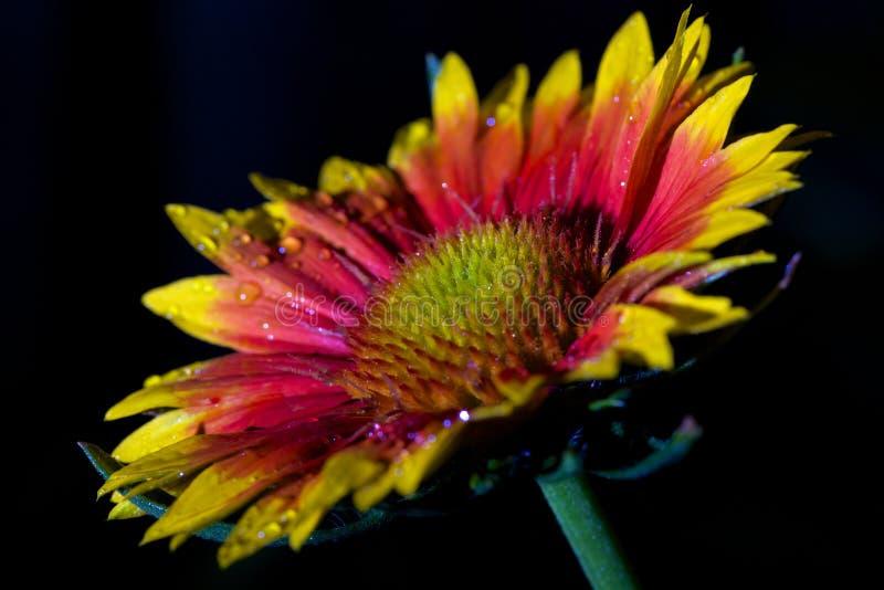 Download Vibrantly Barwiony Coneflower Zdjęcie Stock - Obraz złożonej z radiant, liść: 41950264