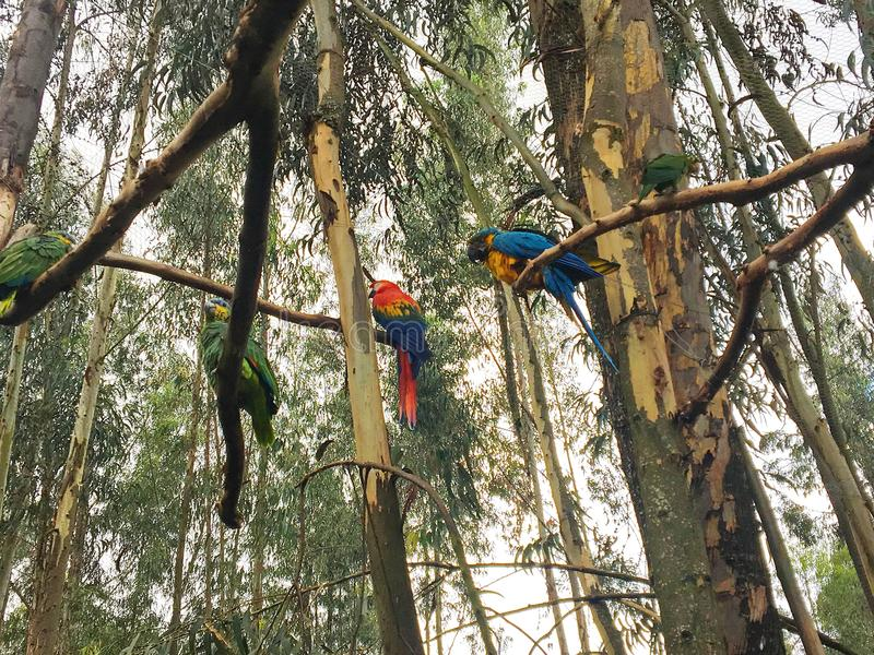 Vibrantly Colored Parrots in Jungle Trees. Several birds with bright colored feathers perched on limbs of tall trees in the forest royalty free stock photography