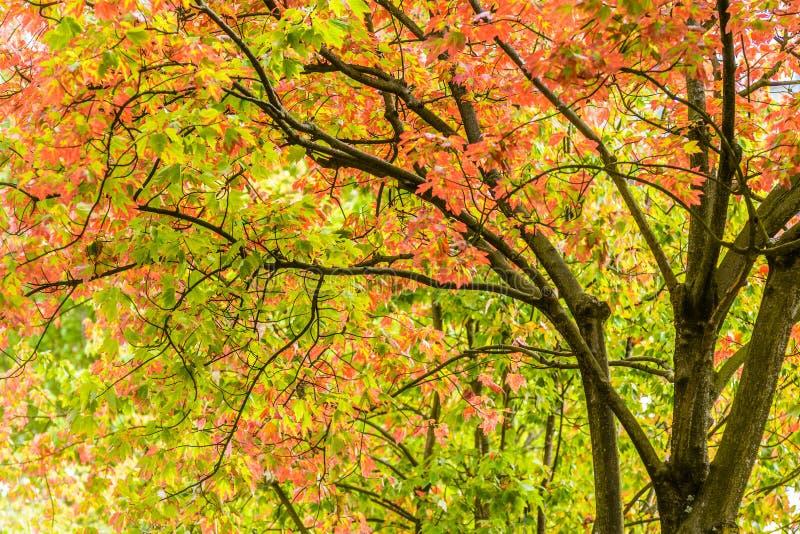 Vibrantly kolorowi drzewni blagierscy pomarańcze, zieleni i koloru żółtego liście, obrazy stock