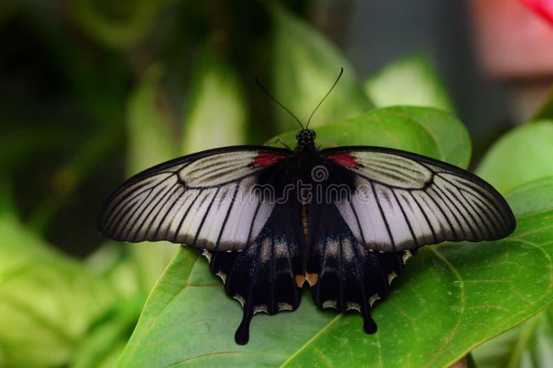 Vibrerande fjäril arkivbild