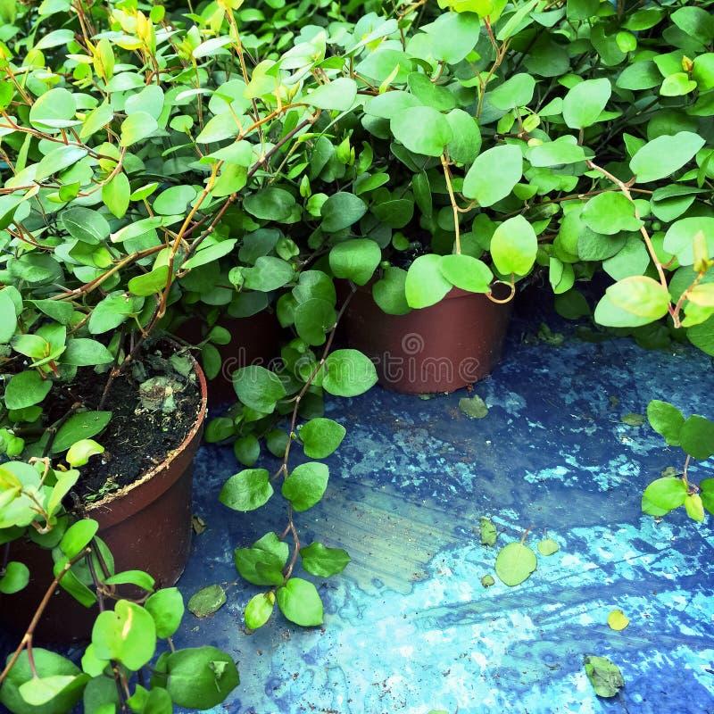 Vibrerande gröna växter i krukor royaltyfri bild