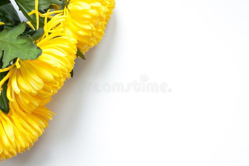 Vibrerande gula krysantemum på vit bakgrund Lekmanna- lägenhet horisontal Bästa hörnläge Modell med kopieringsutrymme royaltyfria foton