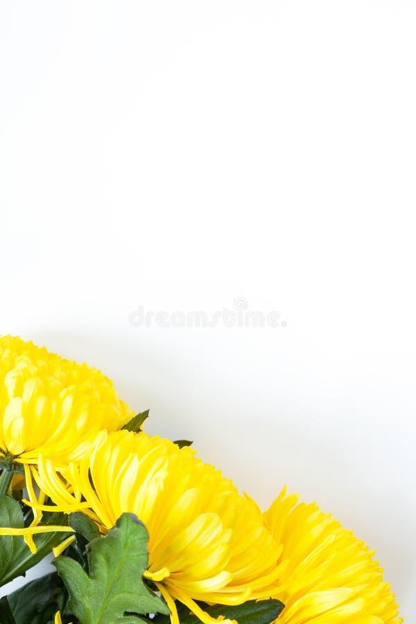 Vibrerande gula krysantemum på vit bakgrund Lekmanna- lägenhet vertikalt Nedersta hörnläge Modell med kopieringsutrymme arkivbild