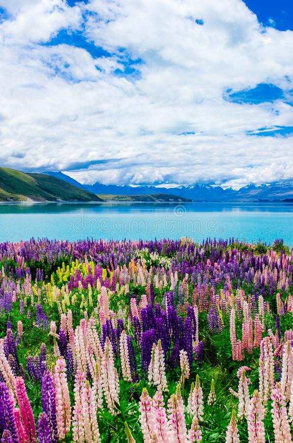 Vibrerande lupin vid sjön Tekapo fotografering för bildbyråer