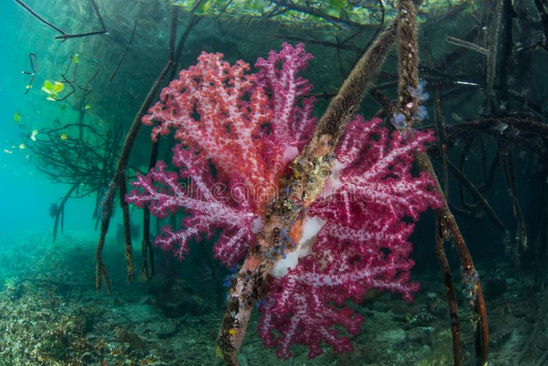 Vibrerande mjuk korallkrusidull på kanten av mangroven royaltyfri fotografi