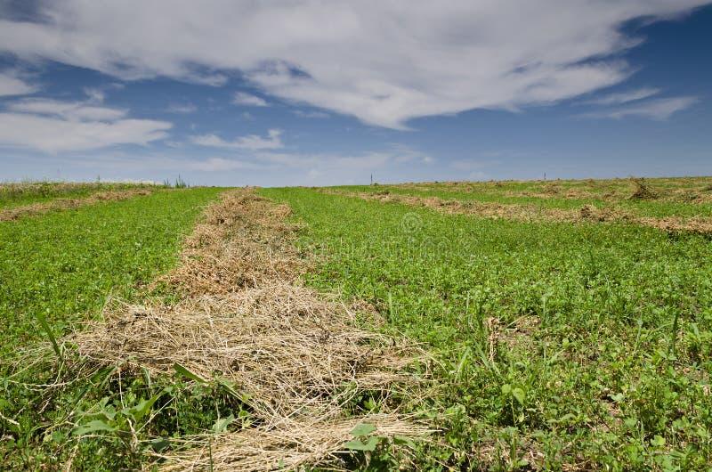 Vibrerande närbild för grönt gräs fotografering för bildbyråer