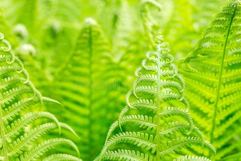 Vibrerande naturlig grön ormbunketexturmodell Härlig tropisk skog- eller djungellövverkbakgrund ny fjäder för lövverk arkivbild