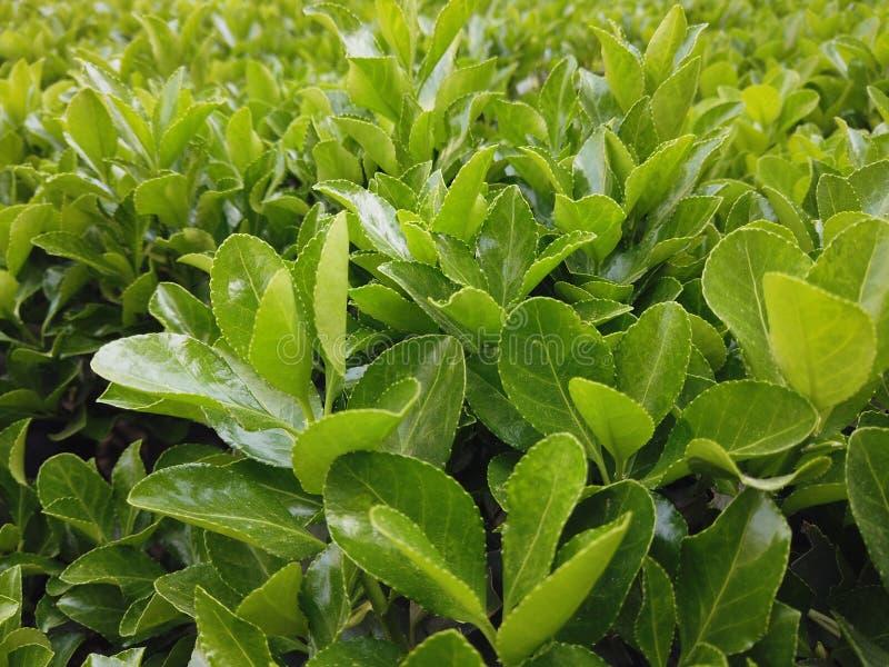Vibrerande och sunda växande gröna sidor royaltyfria foton