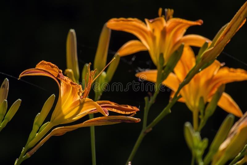 Vibrerande orange asiatiska liljor på svart bakgrund royaltyfria foton