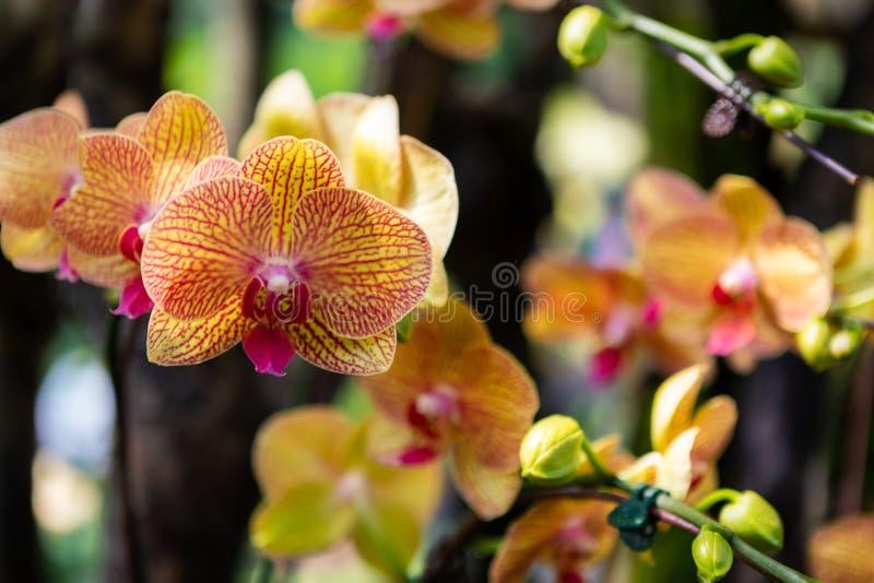 Vibrerande orange randiga orkidér på Displayat en trädgård arkivbild