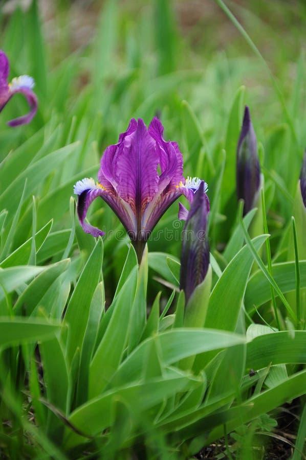 Vibrerande purpurfärgade trädgårdiriers och mörk purpurfärgad irisknoppcloseup royaltyfria foton