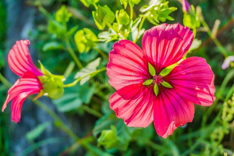 Vibrerande röd hibiskusblomma i blommakroslut upp fotografering för bildbyråer