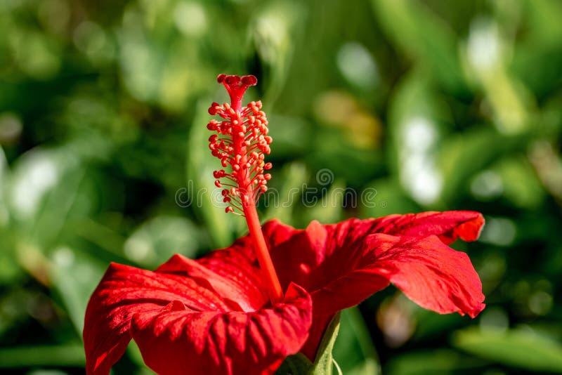 Vibrerande r?d hibiskusblomma med gult pollen p? stigma royaltyfri bild