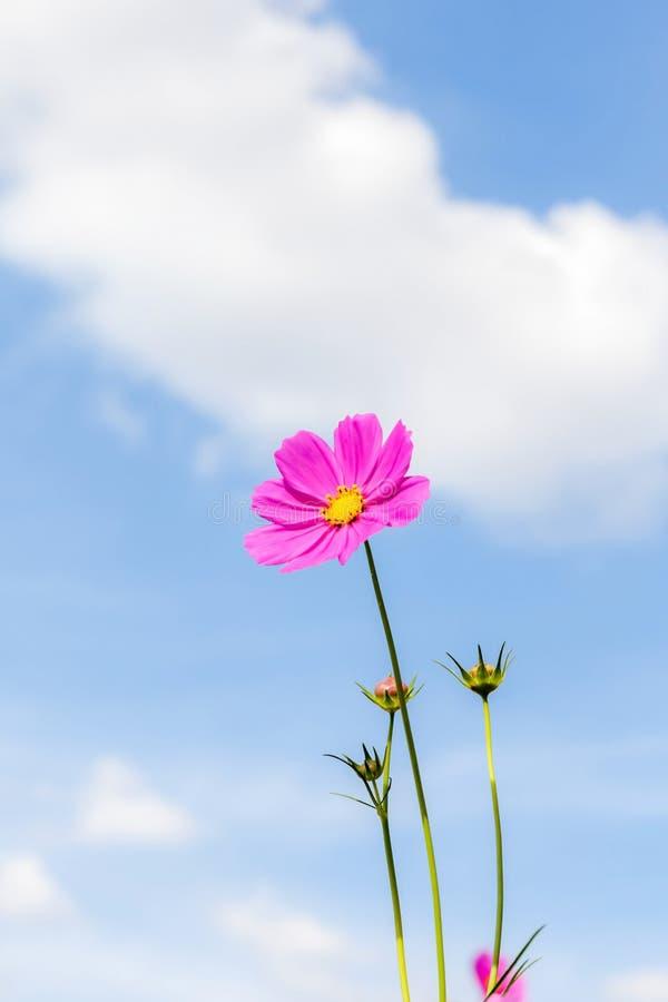 Vibrerande rosa kosmos som blommar med suddig bakgrund för blå himmel royaltyfria foton