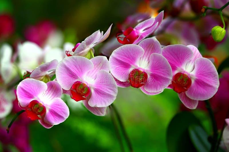Vibrerande rosa orchids royaltyfri foto