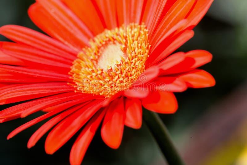 Vibrerande slut upp av en oavkortad blom för nätt ljus orange balkblomma fotografering för bildbyråer