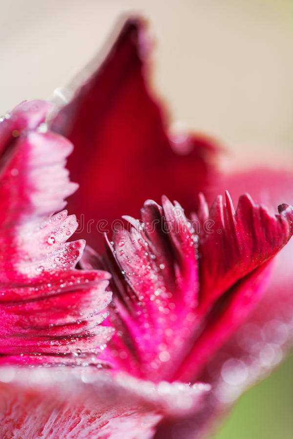 Vibrerande slut upp på rosa tulpankronblad med vita kanter fotografering för bildbyråer