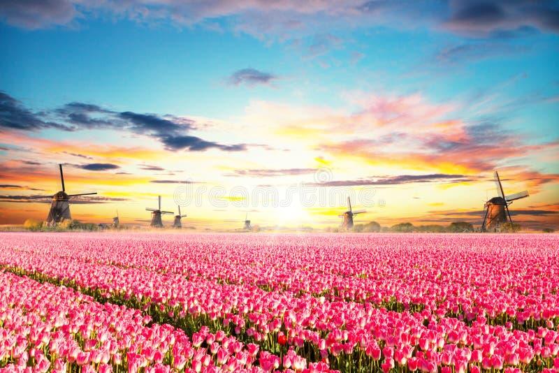 Vibrerande tulpanfält med holländska väderkvarnar royaltyfria foton