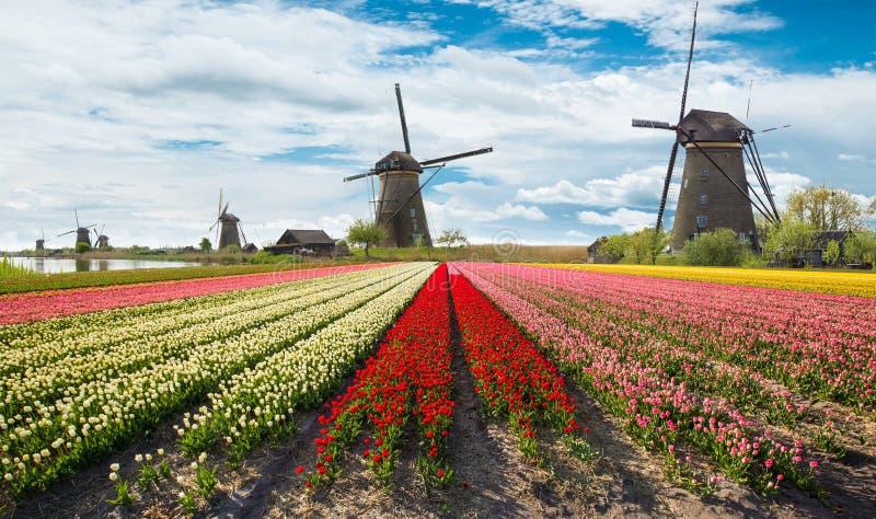 Vibrerande tulpanfält med holländska väderkvarnar arkivbilder