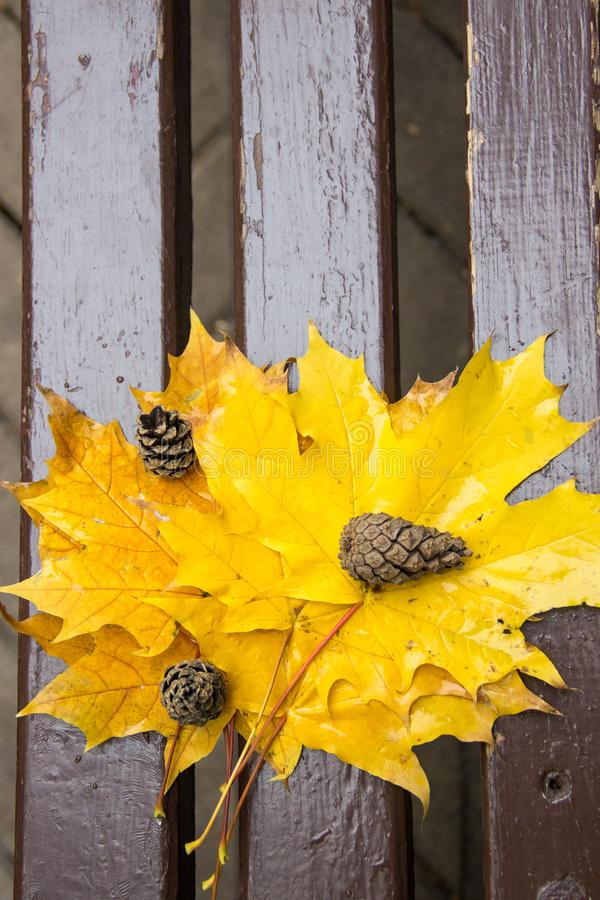 Vibrerande våta guld- stupade sidor av lönn och tre sörjer kottar på en brun wood brench i höst parkerar, sköt från över royaltyfri fotografi