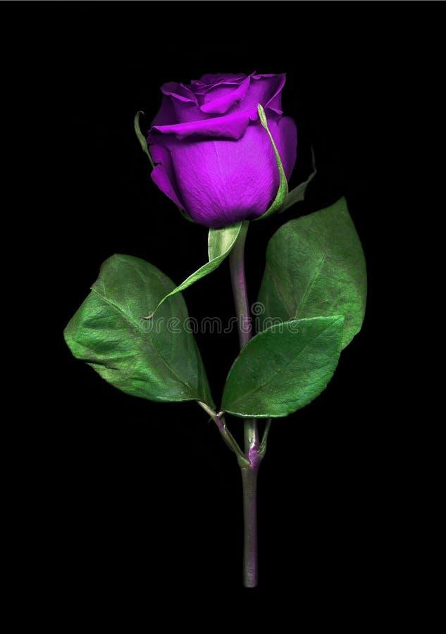 Vibrierende einzelne purpurrote Rose lizenzfreie stockbilder