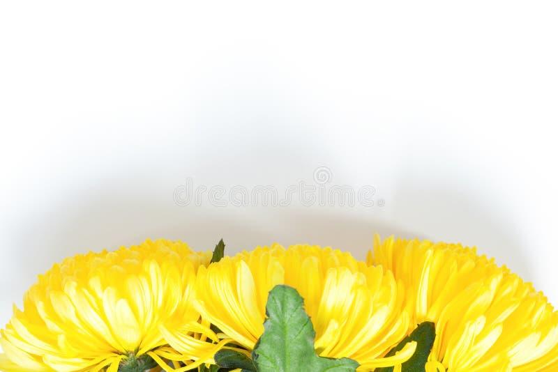 Vibrierende gelbe Chrysanthemen auf weißem Hintergrund Flache Lage horizontal Untere Position Modell mit Kopienraum für Grußkarte lizenzfreie stockfotografie