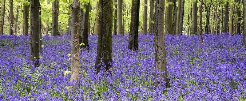 Vibrierende Glockenblumeteppich Frühlings-Waldlandschaft lizenzfreie stockfotos