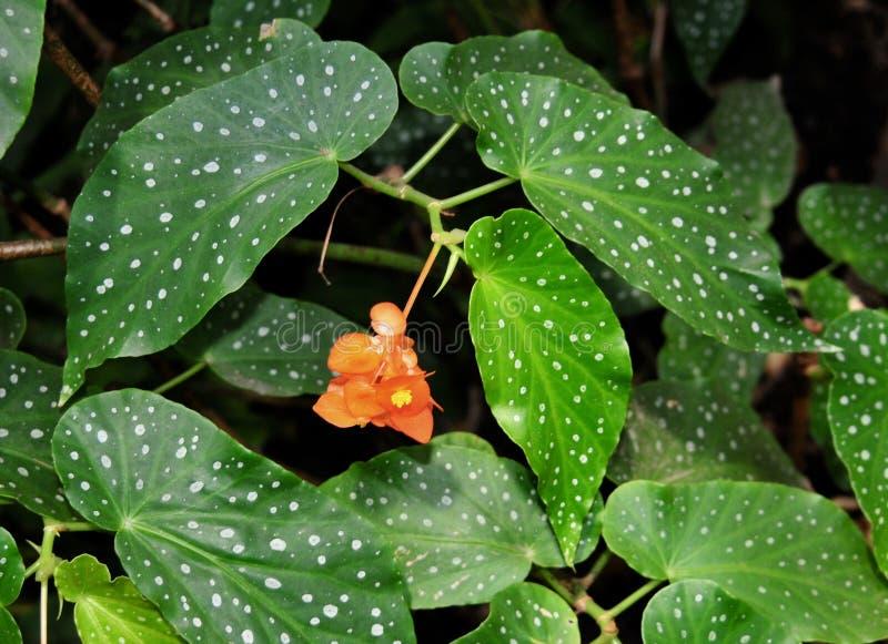 Vibrierende orange Begonienblume mit Grün beschmutzte Blätter stockbilder
