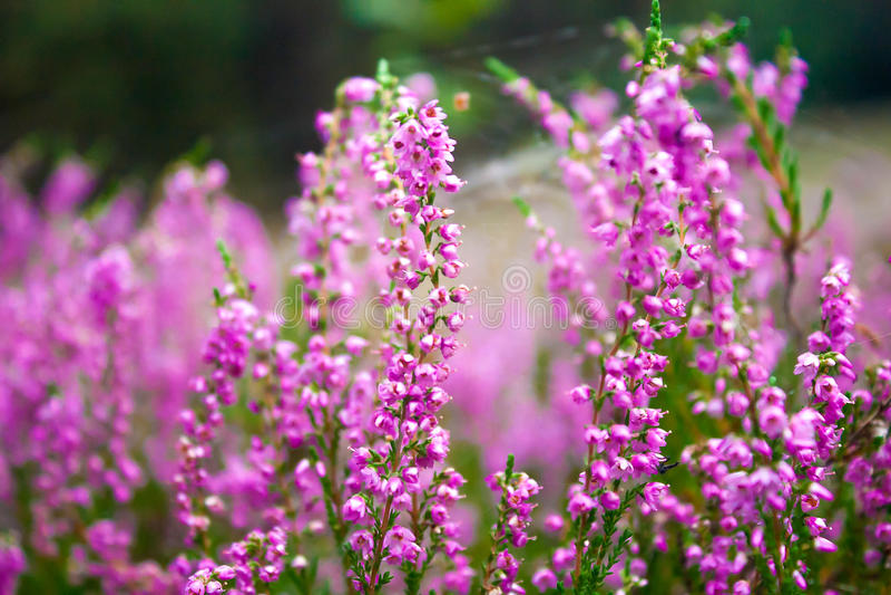 Vibrierende rosa gemeine Heide stockfoto