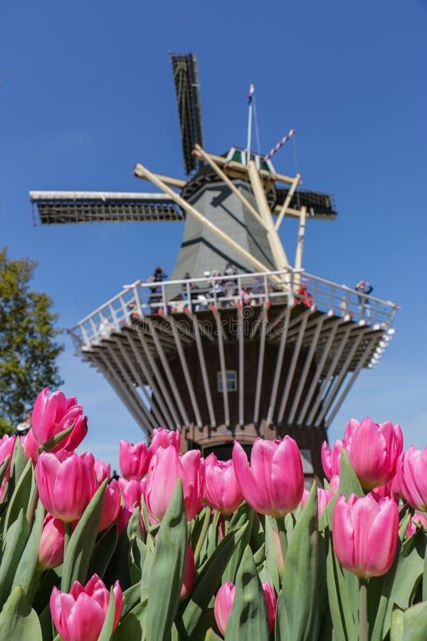 Vibrierende rosa Tulpen und niederländische Windmühle lizenzfreie stockfotos