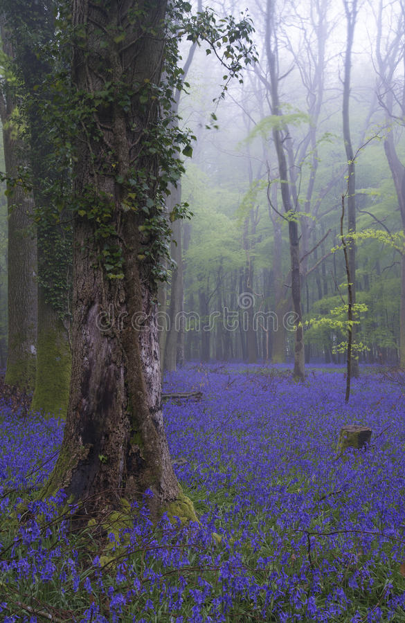 Vibrierender Glockenblumeteppich Frühlings-Waldnebelige Landschaft stockbild