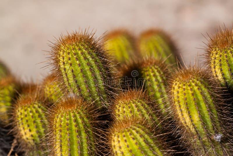 Download Vibrierender Kaktus stockbild. Bild von garten, dorn - 27732105