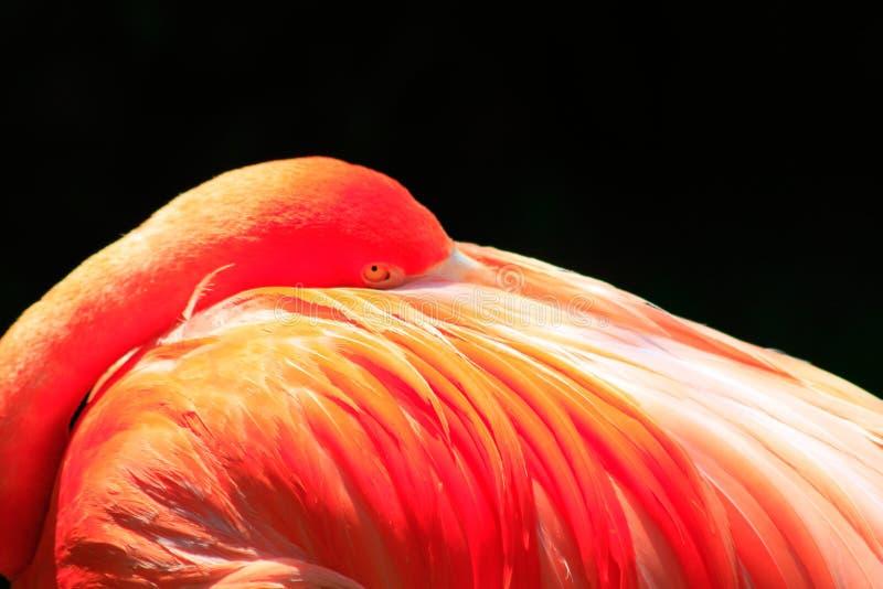 Vibrierender rosa Flamingo im Ruhezustand stockfoto