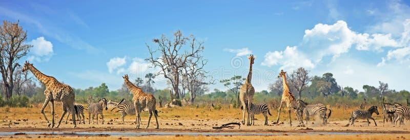 Vibrierendes beschäftigtes waterhole mit Giraffen, Zebras und Zobel-Antilopen gegen einen natürlichen Buschhintergrund und einen  lizenzfreie stockbilder