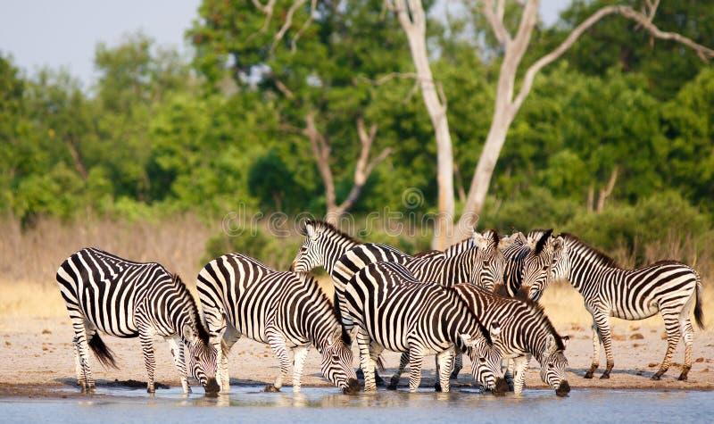 Vibrierendes Bild einer Linie der Zebras, die von einem waterhole mit einem natürlichen Buschhintergrund in Nationalpark Hwange  stockfotos