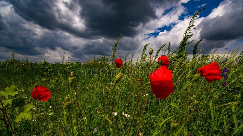 Vibrierendes Mohnblumenfeld im Wind im Sommer vor Sturm lizenzfreie stockfotos