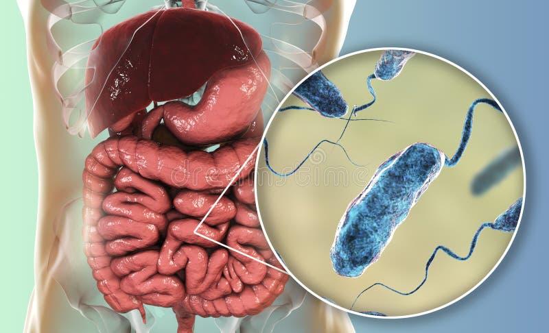 Vibrio cholerae bacteria in small intestine vector illustration