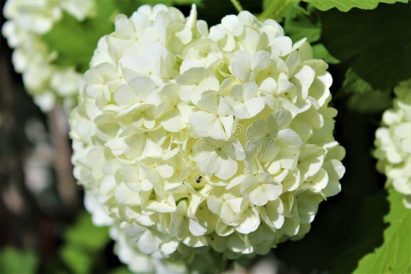 Viburno Opulus, Roseum, palla di neve bianca in fiore immagine stock