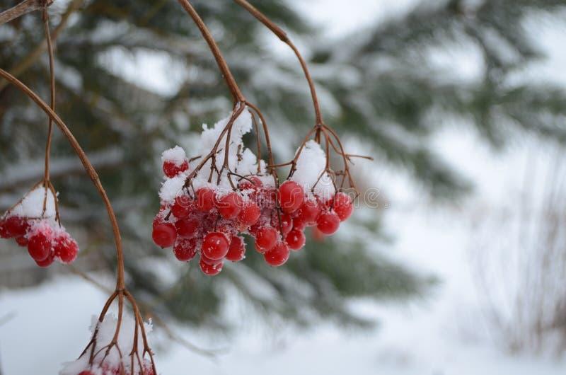 Viburno rosso spruzzato con neve fotografia stock