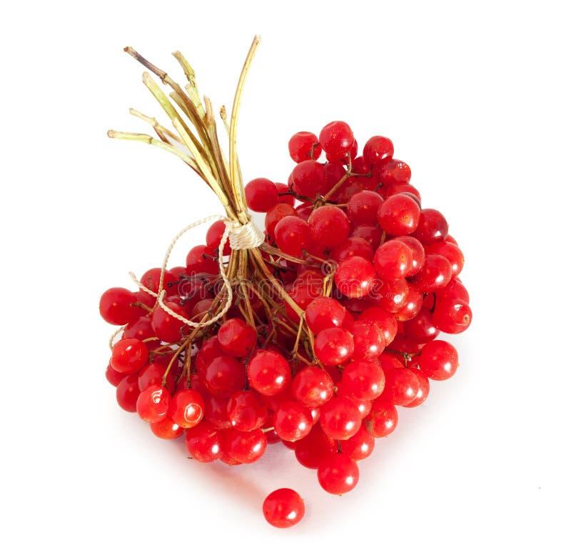 Download Viburnum stock photo. Image of close, medical, cranberry - 27712170
