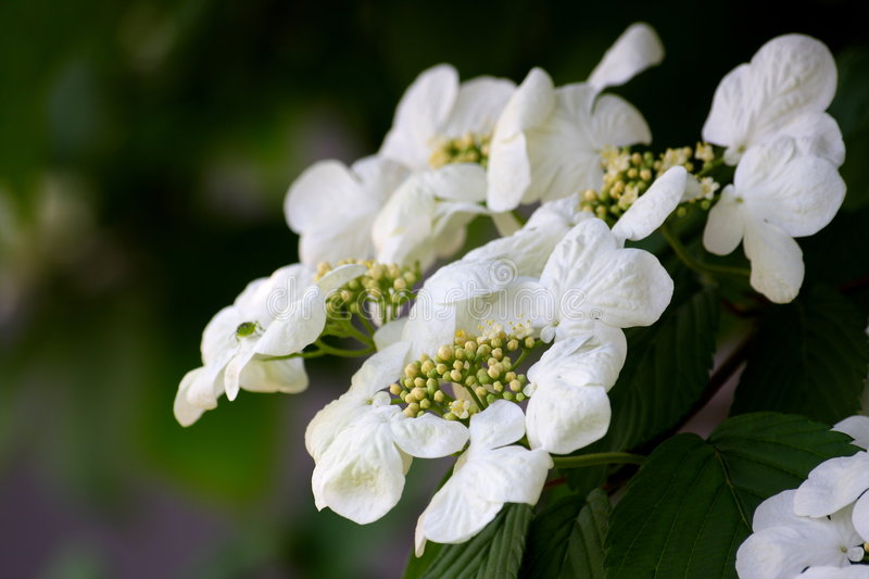Viburnum. () is a genus of about 150-175 species of shrubs or (in a few species) small trees that were previously included in the family Caprifoliaceae. Genetic royalty free stock photos